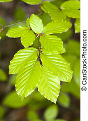 beech leaves in springtime