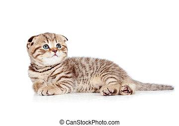 baby Scottish fold kitten lying on floor isolated on white