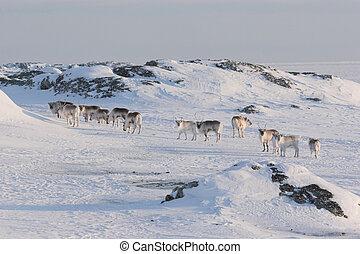 Herd of wild reindeers - Arctic, Spitsbergen, Svalbard