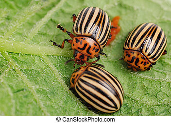 ?hree Colorado potato beetle on a leaf