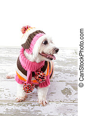 Gorgeous dog - Beautiful pampered dog wearing a scarf,...