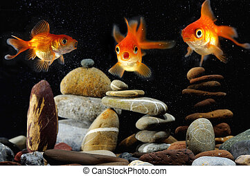 funny goldfish in aquarium over well-arranged zen stone and...
