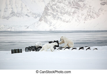 Polar bears playing with barrels