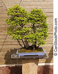 Ulmus pumila - Bonsai Siberian elm is native to Central...