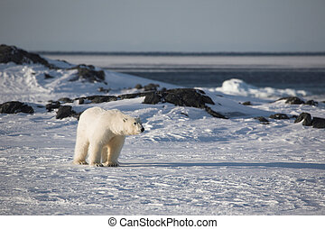 Polar bear in natural habitat - Arctic, Svalbard