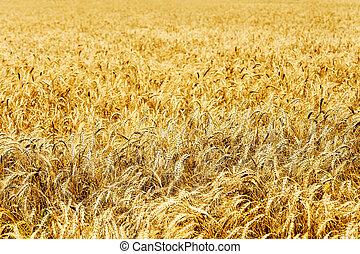Ear of the wheat on field