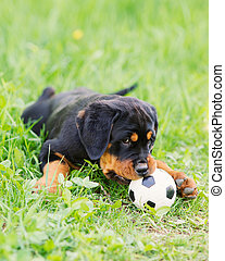 Rottweiler puppy on a grass - Rottweiler puppy playing with...