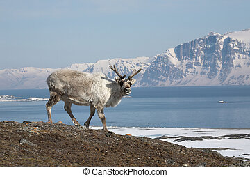 Arctic reindeer on Svalbard shore