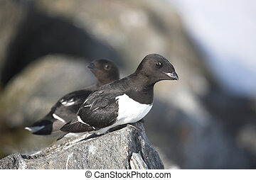 Little auks - Arctic birds - Little auks (Alle alle)- Arctic...