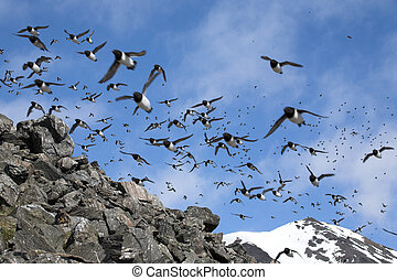 Little Arctic birds - Little auks colony
