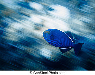 Panning shot of blue triggerfish swimming on reef - LITTLE...