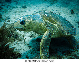 Loggerhead Turtle on Coral Reef - Loggerhead Turtle with...
