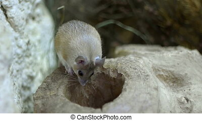 Field Mouse - A field mouse inspects a hole in a log.
