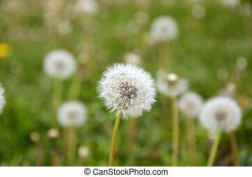 Dandelion Fluff - Dandlion fluff in field.