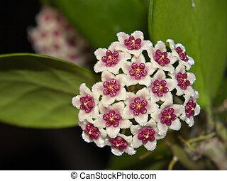 Sweetheart Hoya - Hoya kerii(Sweetheart Hoya) blooming in...