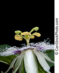 Passiflora edulis - Flower of Passiflora edulis blooming...
