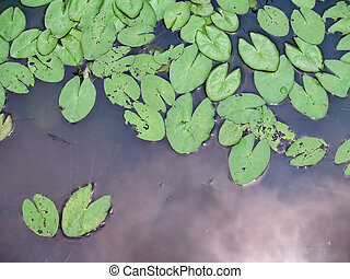 Lotus leaf - Green lotus leaf floating on the water