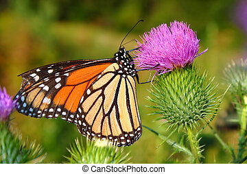 Monarch Butterfly (Danaus plexippus) in on a flower at...