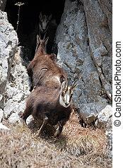 Mountain goats in natural habitat