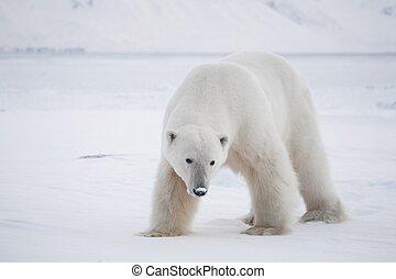 Polar bear - Arctic, Spitsbergen