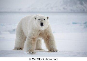 polarny, Niedźwiedź, Svalbard, krajowy, Park