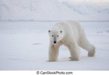 Polar bear in natural habitat