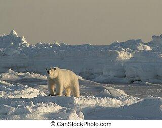 polarny, Niedźwiedź, -, Arktyka, Zima