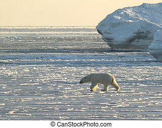 Polar bear on the frozen fiord