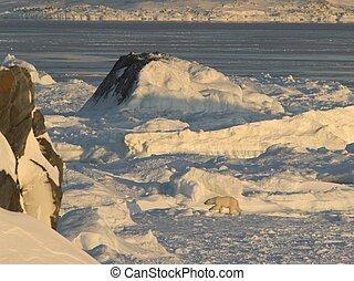 Gletscher,  Polar, bär, eis