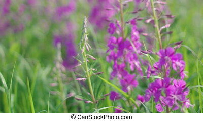 Purple Alpine Fireweed