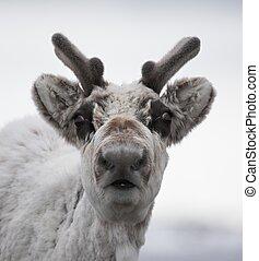 Svalbard, reno, retrato