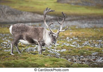 Big male wild reindeer