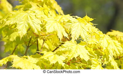 Maple branch with young leaflets on a wind