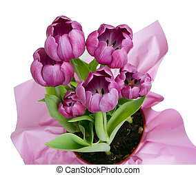 Pink Tulips in pot isolated on whit