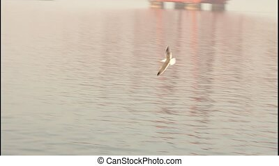 Seagull flying skimming the sea, with view of the Forth...