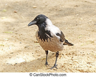 Portrait of the crow on the sand