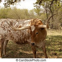 Tejas, longhorn, vaca