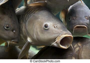 Carp - Close-up of a shoal of common carp, Cyprinidae Carpio