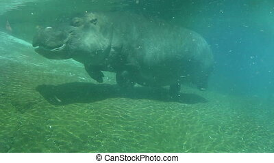 Hippo swimming underwater on sunny day, slow motion