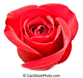 rose flower - rose isolated on white background