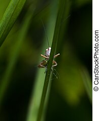 Katydid on a grass straw an early morning in May