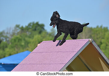 Black Miniature Poodle at a Dog Agility Trial - Black...