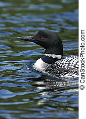 Common Loon - Close-up of Common Loon (Gavia immer) on a...