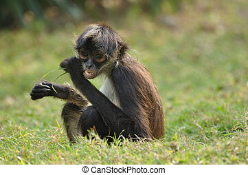 Geoffroy's Spider Monkey (Ateles geoffroyi) Eating -...
