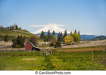 Red barn, apple orchards, Mt. Adams - Red barn among apple...