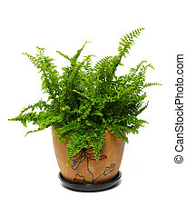 fern in a brown pot isolated on white background