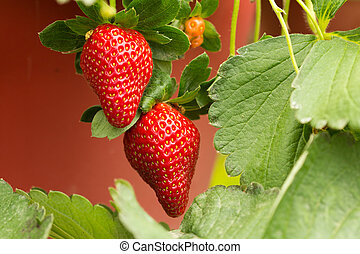 Strawberry plant - Organic strawberry plant with two big...