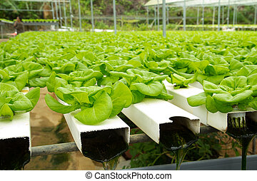 Hydroponic vegetable farm