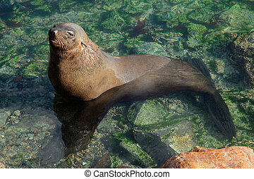 Brown fur seal - Brown Cape fur seal Arctocephalus pusillus...
