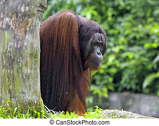 Borneo Orangutan - Orangutan in the jungle in Borneo,...